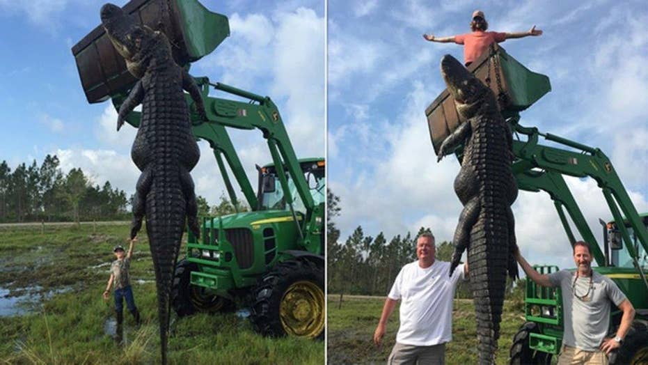 Hunters kill 800-pound gator believed to have eaten cows