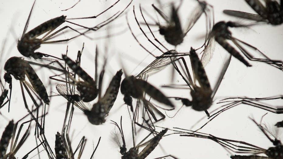 Genetically modified mosquitoes to combat Zika virus?