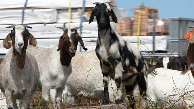 First annual 'Running of the Goats' goes predictably wrong