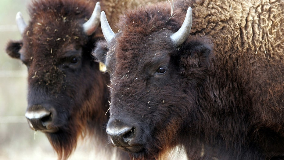 Bison named as the United States' first national mammal