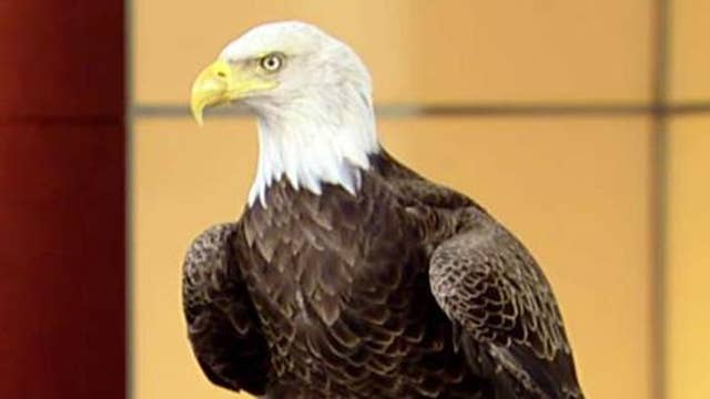 Why the bald eagle symbolizes our freedom