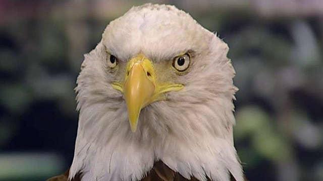 America's symbol of freedom: The bald eagle
