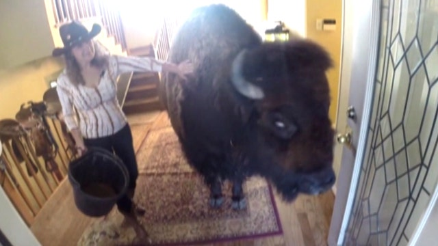 Housebroken 1,000-pound bison sold on Craigslist