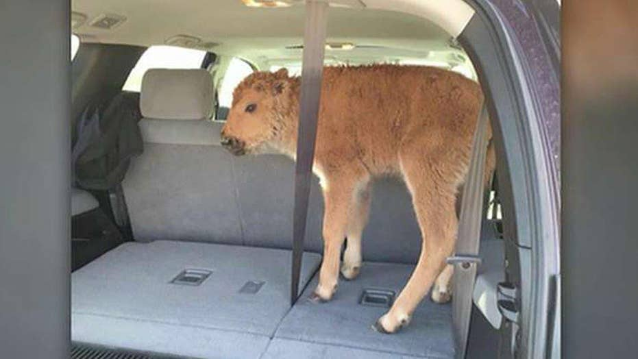 Bison calf euthanized after being taken by tourists