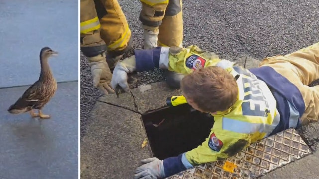 Anxious duck mom looks on as ducklings rescued from drain