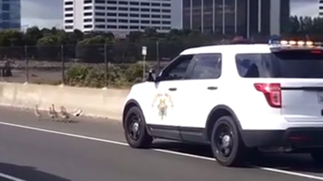 Goslings lead cops on mild goose chase