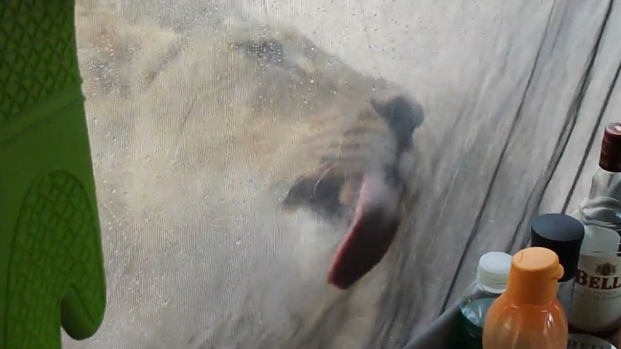 Raw video: Close encounter for campers at Kgalagadi Transfrontier Park in Botswana