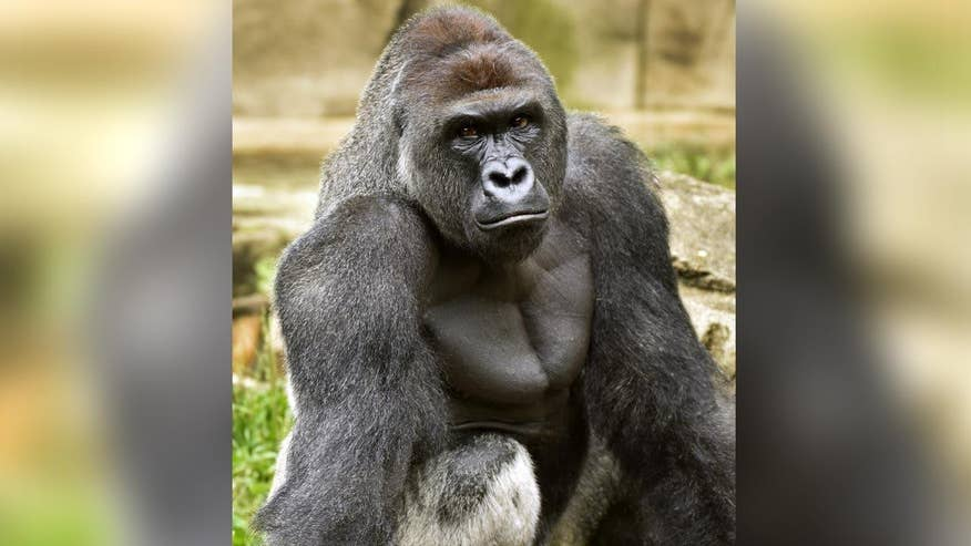 Ohio police now investigating possible criminal charges in Cincinnati Zoo's killing of endangered gorilla to save young boo. Will the child's parents or the zoo face court action? The 'On the Record' legal panel investigates the scenarios