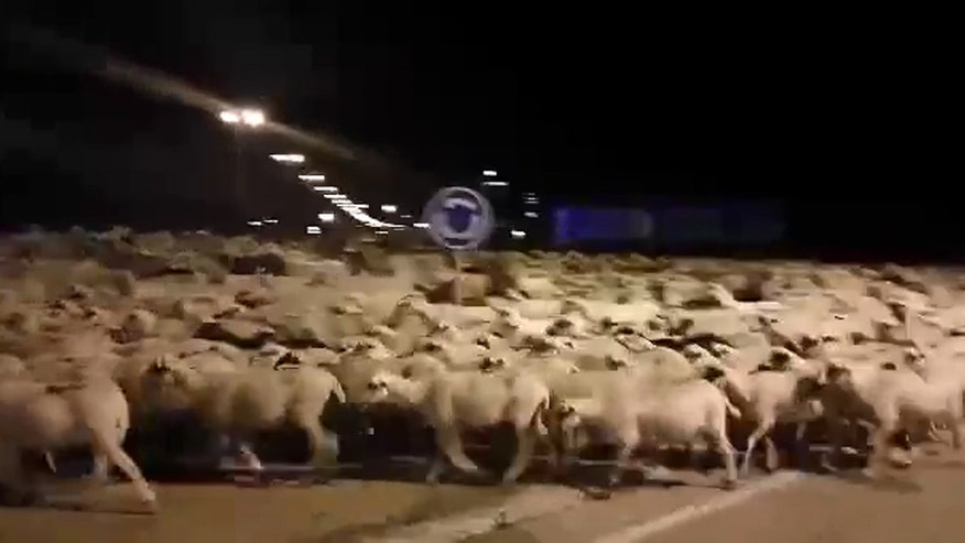 Raw video: Over 1,000 sheep spotted roaming through city in Spain
