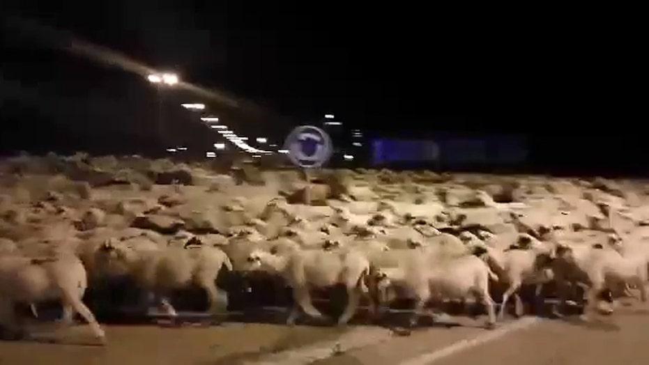 Shepherd falls asleep, sheep hit the town
