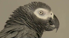 How a parrot's 'don't f-ing shoot' may play a major role