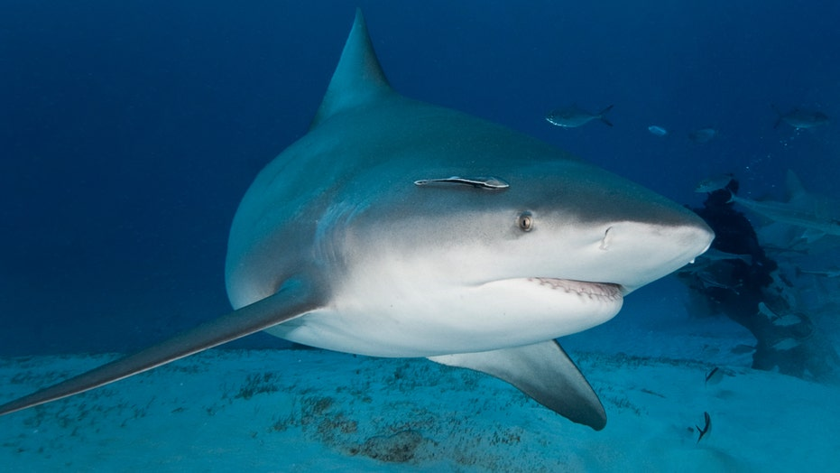 Can humans and sharks live together in peace?