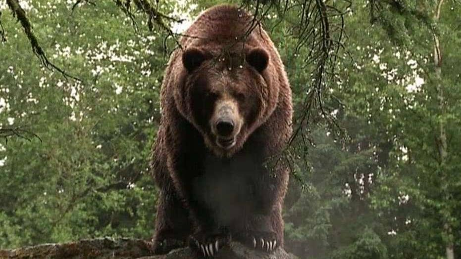Hunt is on for grizzly bear that killed mountain biker