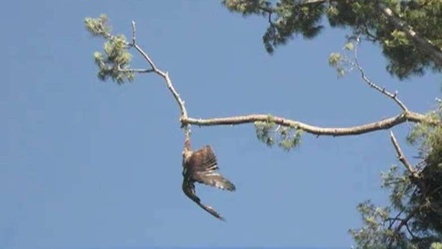 Sharp shooting veteran saves bald eagle