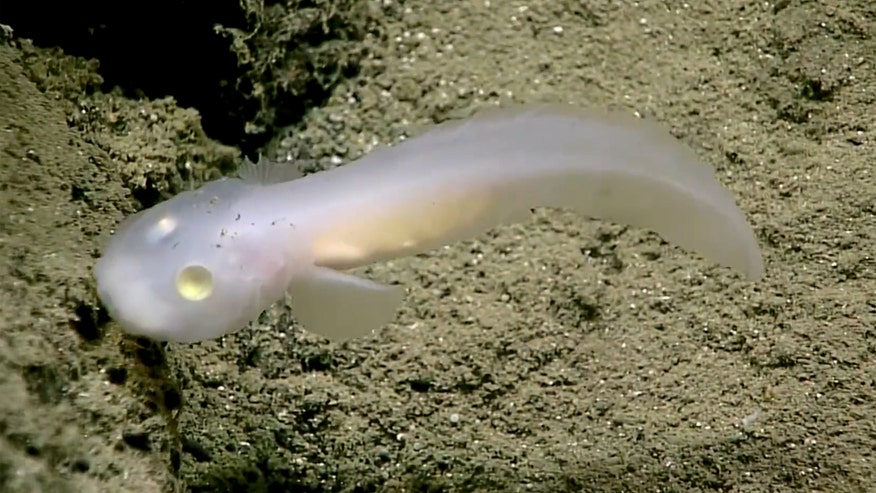 Raw video: NOAA Ship Okeanos Explorer discovers eel-like fish while exploring Marianas Trench 1.5 miles below surface in remote area of Pacific's Micronesia region