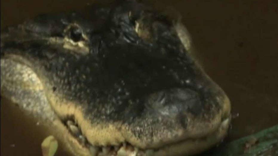 Florida man fighting to keep pet alligator