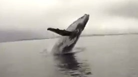 Raw video: Humpback leaps out of water near small boat in Swansea Heads in New South Wales