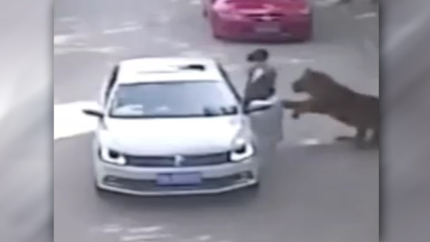Raw video: Surveillance camera captures moment big cat attacks woman in Beijing