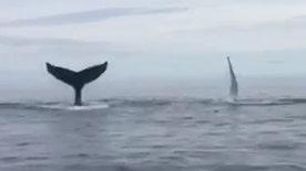 Raw video: Humpbacks have fun in water near Bragg's Island in Canada