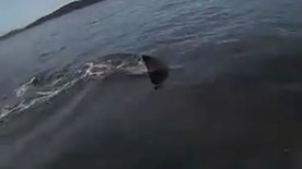 Raw video: Massive great white gets a little too close for comfort for man in Australia