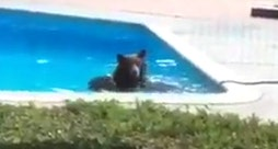 Raw video: Animal takes break from heat while swimming in house pool