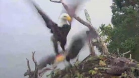 Raw video: Rare footage of raptor's attack captured on Hog Island, Maine