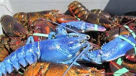 The odds of finding a blue lobster are one in two million