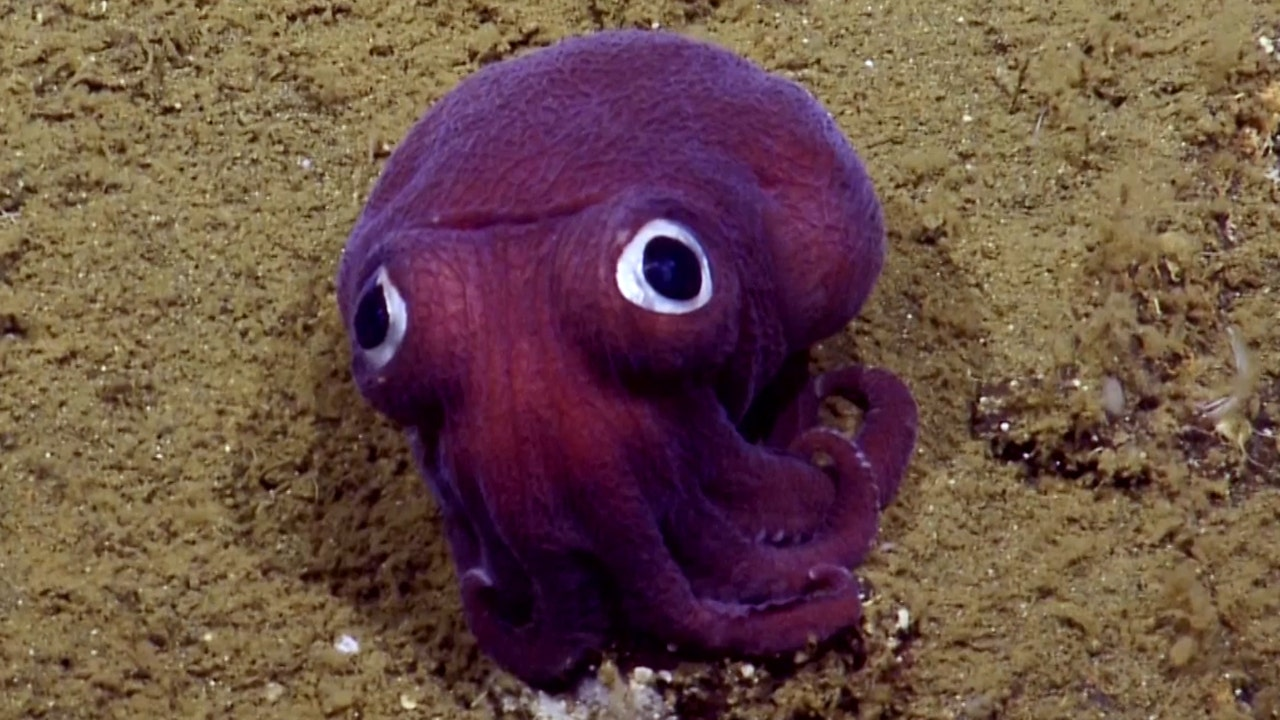 Googly-eyed purple squid sighting delights scientists