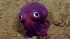 Scientists on board the Exploration Vessel (E/V) Nautilus spot adorable purple squid with googly eyes in the Pacific