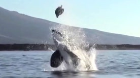 Raw video: Orca surprises tourists off the Galapagos Islands