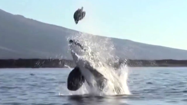 Watch killer whale launch sea turtle sky high