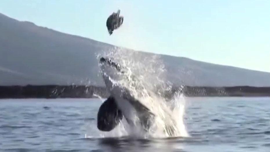 Watch killer whale launch sea turtle sky high