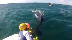 Raw video: Young whale entangled in nets off Australia's Gold Coast set free