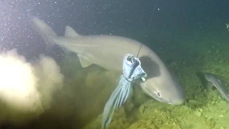 Raw video: Rarely-seen shark spotted 490-feet below surface near Desolation Sound in British Columbia