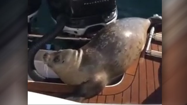 Scared seal scrambles onto boat to escape killer whales