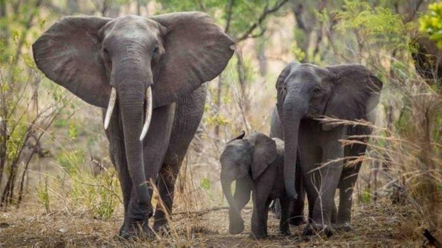 Scientists estimate there are a little more than 350,000 elephants left in Africa