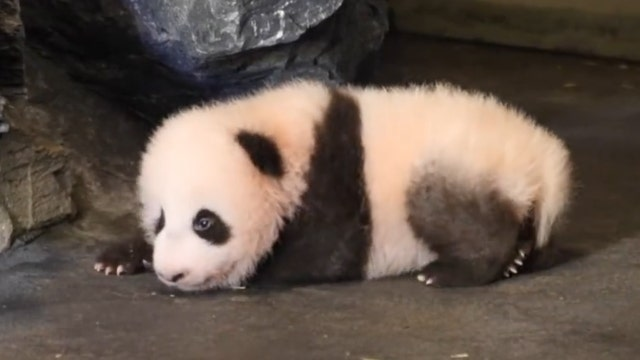 Watch adorable baby panda take his very first steps