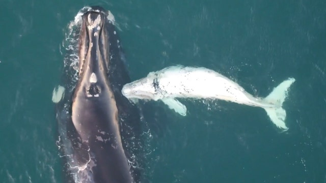 Rare white whale calf caught on camera