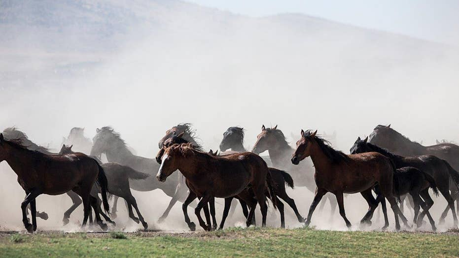 Wild horses cull? Proposal sparks outrage