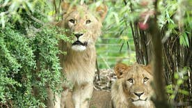 Zoo closed to the public until the lions are located