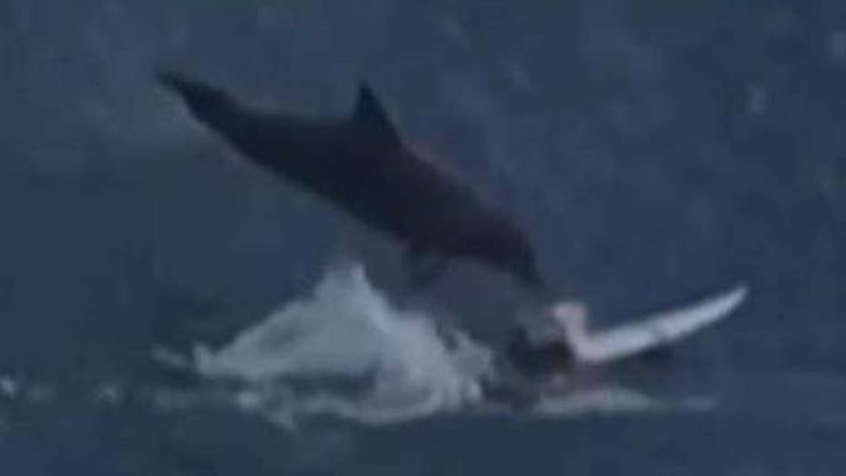 Look out ! Dolphin jumps out of water, lands on surfer