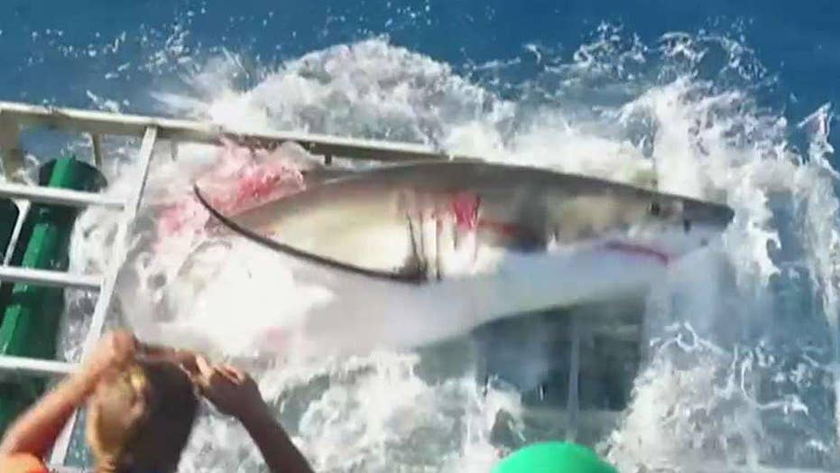 Great white shark breaks into shark cage with diver inside
