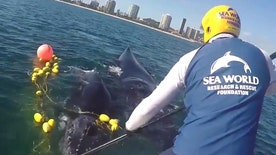 Raw video: Sea World Australia workers cut whale's tail from net