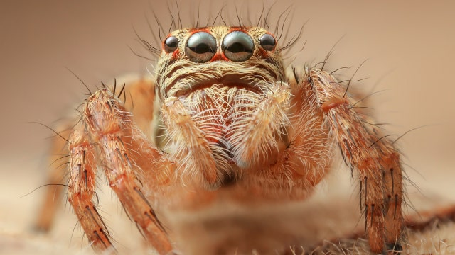 Spidey sense: Jumping spiders use leg hairs to 'hear'