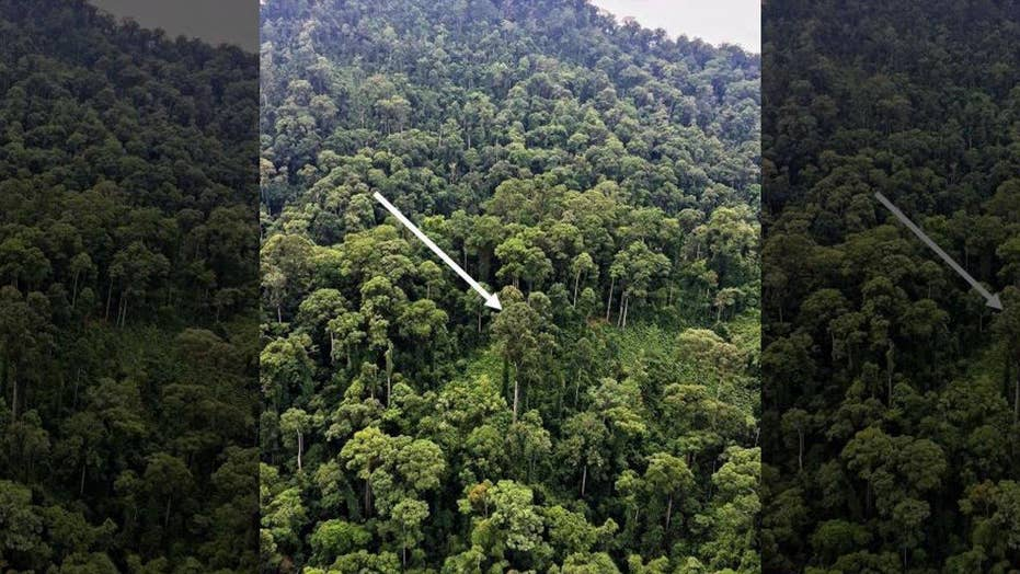 Tallest tropical tree discovered