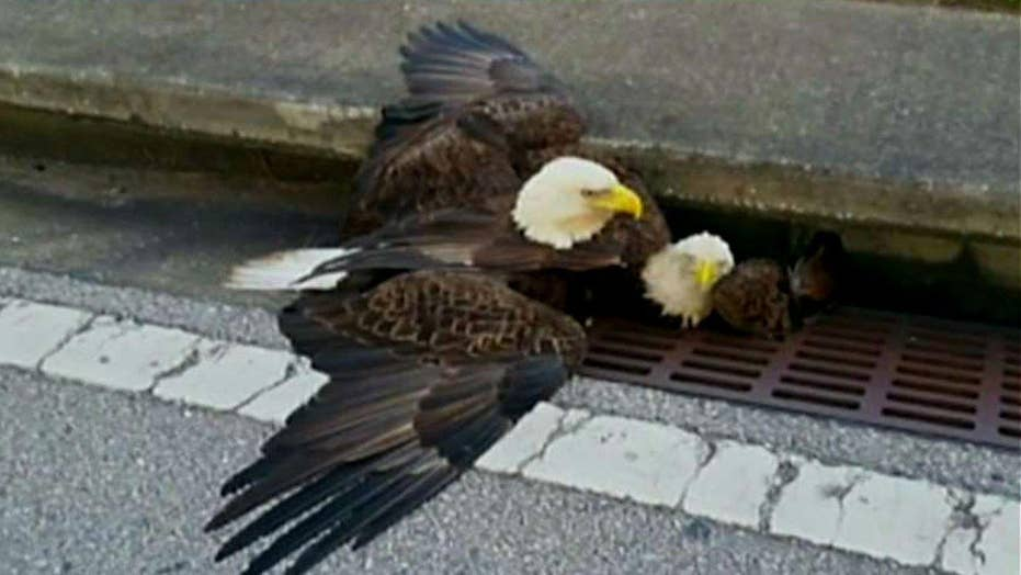 Bald eagle rescued from storm drain