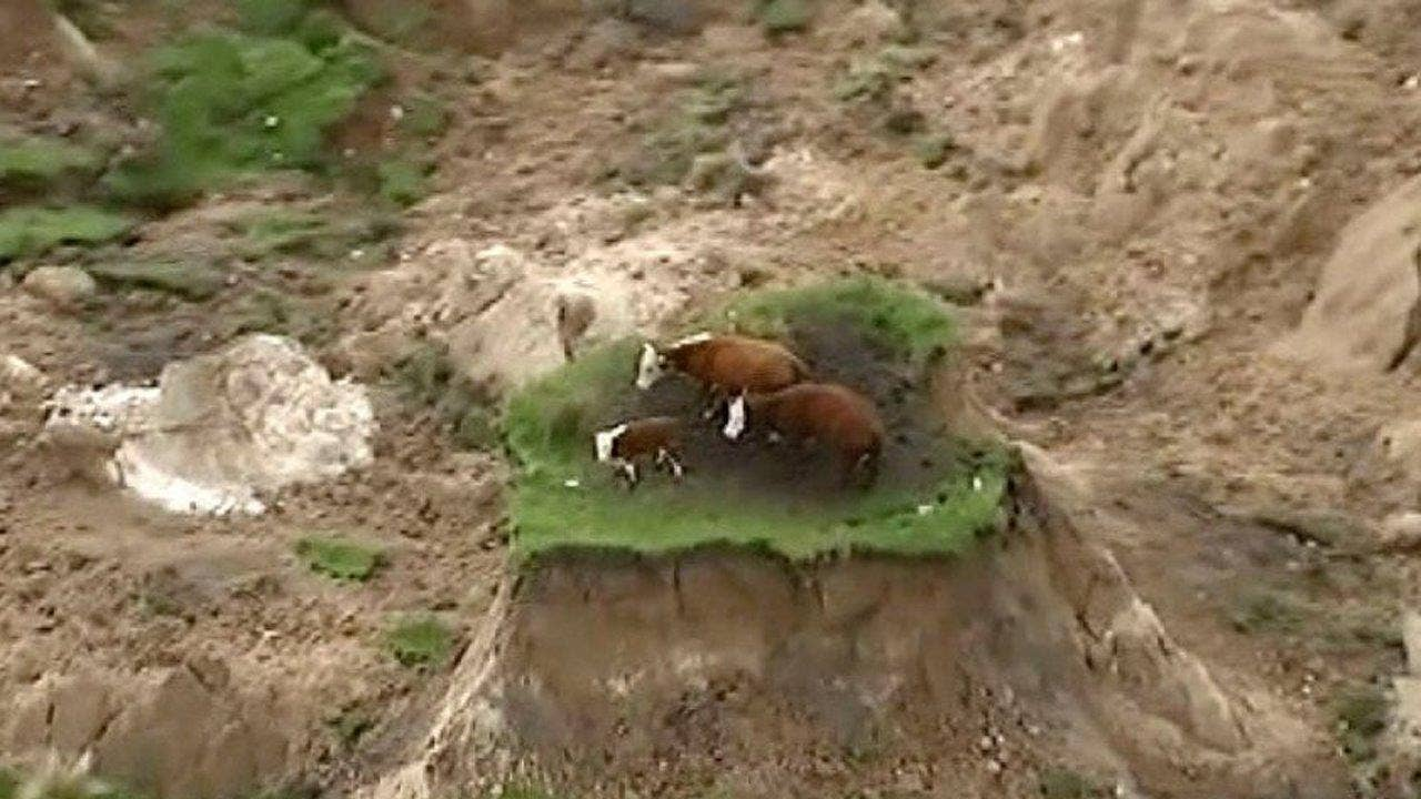 3 Cows Stranded On Patch Of Land After Powerful New Zealand Earthquake Fox  News W2 Forms