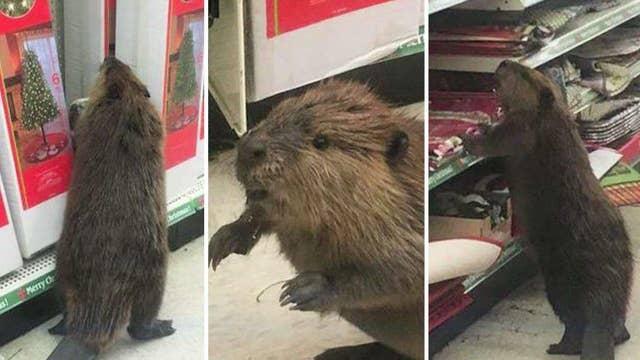 Beaver wreaks havoc at dollar store