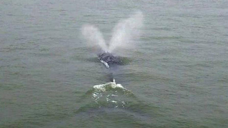 Wayward whale spotted in New York City's East River
