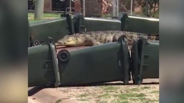 Trash bins used to barricade massive crocodile